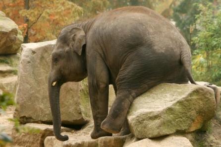 Elephant sit